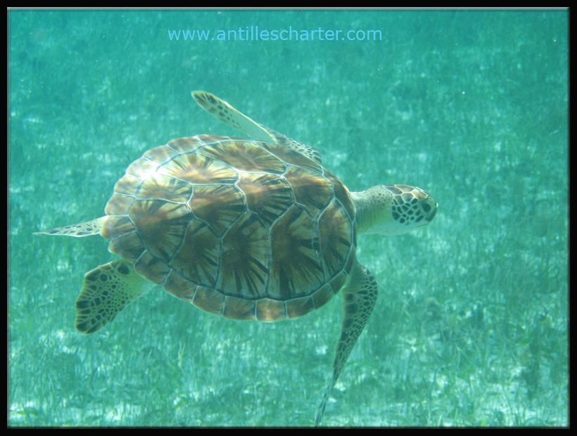 Découvrez les tortues durant votre croisiere sur le catamaran